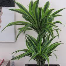 large indoor plants dracena