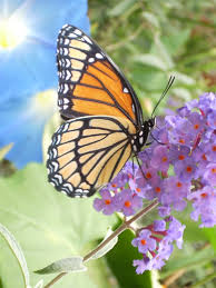 viceroy butterfly closed wings em limenitis