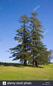 norfolk island pine trees norfolk island south pacific stock photo