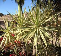 Dracaena Marginata Dracaena Marginata Variegated Dragon Tree My Plant Palace