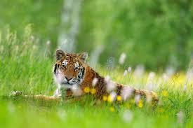 si e habitat estate con la tigre tigre con i fiori rosa e gialli tigre siberiana