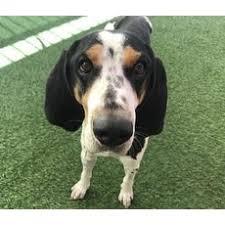 bluetick coonhound rescue georgia mixed bluetick coonhound for adoption