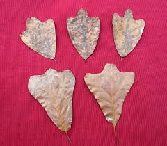 southern red oak u2013 quercus falcata fall leaf patterns news