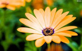 spring flower desktop wallpaper wallpapersafari