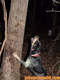 bluetick coonhound rabbit hunting the cost to produce a grand nite champion coon hound john in the