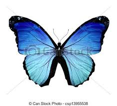 drawings of morpho blue butterfly isolated on white csp13955538