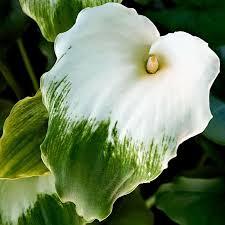 Calla Lillies Calla Lily Bulbs For Sale Online U2013 Easy To Grow Bulbs