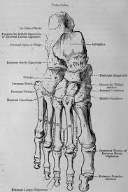 Foot Surface Anatomy Other Bones Of Leg