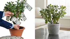 this plant attracts money like a magnet it u0027s a must have in your