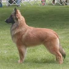 belgian sheepdog oregon spy