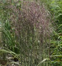 calamagrostis x acutiflora overdam hardy geraniums ornamental
