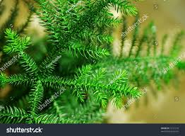 detail small indoor pine tree stock photo 12171718 shutterstock