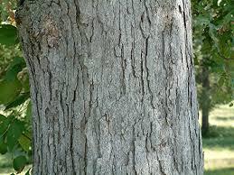 White Oak Tree Oak Trees Stone Mountain Tree Services Free Estimates 678 644 0427