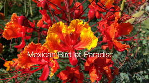 33 best plants for birds mexican bird of paradise a minute in the garden 25 from a