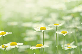 Summer Flowers by Chamomile White Flower Petals Bloom Field Green Grass Plants