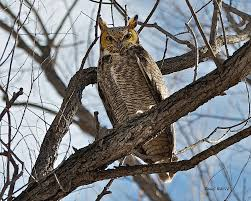 horned owl in tree photograph by stephen johnson