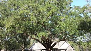Interior Live Oak Oak Tree Seeds From Around The World