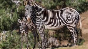 zebra san diego zoo animals u0026 plants