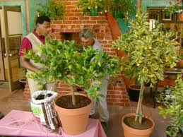 growing citrus trees diy