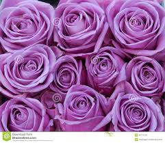 purple roses purple roses stock photo image of bunch 28715446