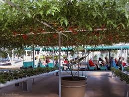amazing epcot tomato tree 32 000 tomatoes from one plant
