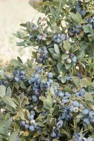 blue mountains native plants bountiful blue blueberry monrovia bountiful blue blueberry