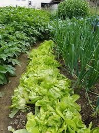 intensive gardening layout garden intercropping tips on interplanting and intensive gardening
