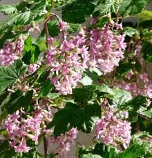 native california plants ribes sanguineum glutinosum pink flowered currant