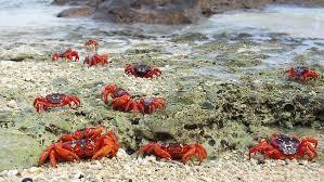 weather threatening christmas island red crabs u2013 angfa queensland