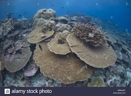 fish table coral underwater diving sea christmas island australia