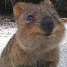 Wombat Memes - wombat clipart quokka pencil and in color wombat clipart quokka