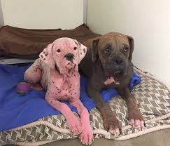 3 legged boxer dog pink dog abandoned with brother at shelter