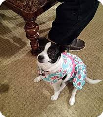 bluetick coonhound rescue california momo adopted dog corona ca bluetick coonhound pug mix