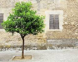 lime tree stock photos and pictures getty images
