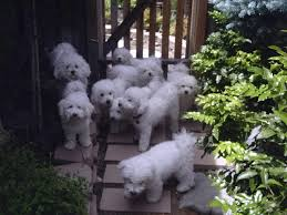cost of a bichon frise welcome to my house