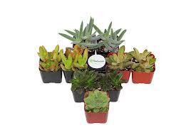 Amazon Succulents Amazon Com Shop Succulents Assorted Succulent Collection Of 128