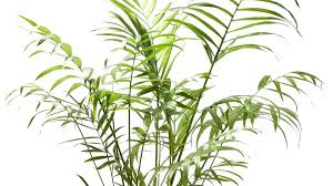 best low light indoor trees 18 best large indoor plants tall houseplants for home and it is one