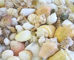 assorted seashells hinterland trading caribbean assorted seashell mix 3