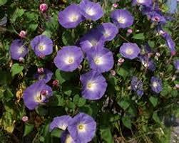 Morning Glory Climbing Plant - morning glory flower seeds online morning glory flower seeds for