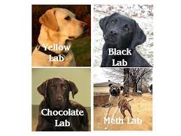 Chocolate Lab Meme - chocolate lab meme 28 images image tagged in chuckie the