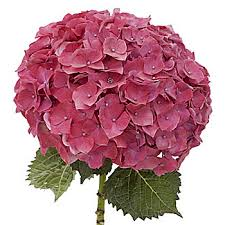 hydrangeas flowers hydrangea flower