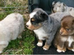 australian shepherd 4 sale miniature australian shepherd puppies for sale