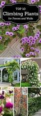 Climbing Plants On Trellis Top 10 Beautiful Climbing Plants For Fences And Walls Plants