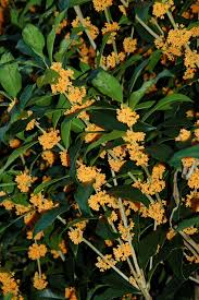 Scented Flowering Shrubs - how to grow tea olive hgtv