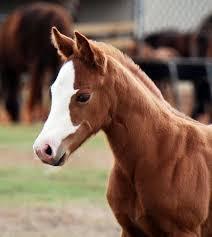 75 best american paint horse association images on pinterest