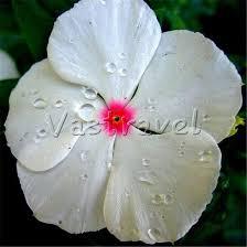 Vinca Flowers 100 Pcs White Vinca With Red Heart Vinca Flower Seeds Catharanthus