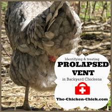 the chicken prolapse vent in chickens causes u0026 treatment