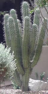argentine toothpick cactus horticulture unlimited
