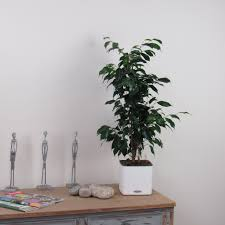 office plant mother in laws tongue contemporary indoor house or office plant