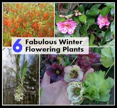 top six fabulous winter flowering plants diycozyworld home
